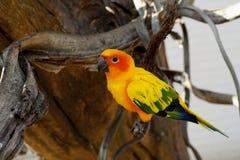 Conure de Sun, pássaro amarelo bonito do papagaio foto de stock royalty free
