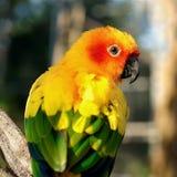 Conure de Sun, pássaro amarelo bonito do papagaio imagem de stock royalty free