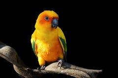 Conure de Sun, pássaro amarelo bonito do papagaio imagem de stock