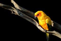 Conure de Sun, pássaro amarelo bonito do papagaio imagens de stock
