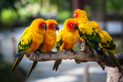 Conure-Papagei Lizenzfreie Stockbilder
