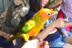 Conure papegoja Arkivfoto