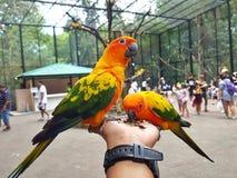 Conure papegoja Fotografering för Bildbyråer