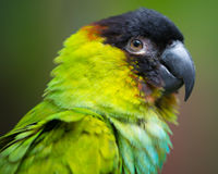 Conure parrot with black head Stock Photos