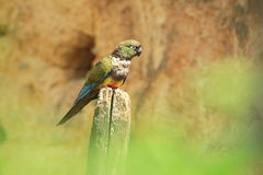conure patagonian Photo stock