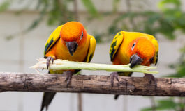 Conure Royalty Free Stock Photos