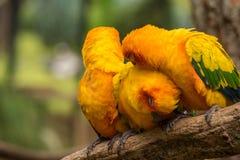 Conure ptaki na gałąź zdjęcie stock