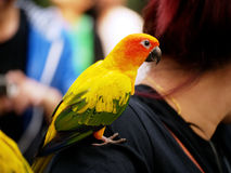 Conure relaxing. Stock Image