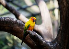 Conure relaxing on a tree. Royalty Free Stock Images