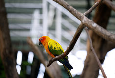 Conure relaxing on a tree. Royalty Free Stock Photos