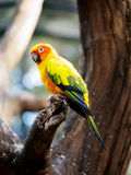 Conure relaxing on a tree. Stock Photography