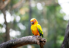 Conure relaxing on a tree. Stock Image