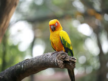 Conure relaxing on a tree. Stock Photo