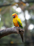 Conure relaxing on a tree. Royalty Free Stock Photo