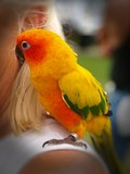 conure słońce Zdjęcia Royalty Free