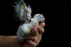 Conure som lär att flyga Fotografering för Bildbyråer