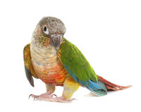 Conure in studio Royalty Free Stock Images