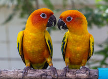 Conure Stock Photos
