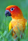 Conure walking in the garden Royalty Free Stock Image