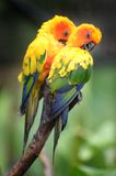Conures Photographie stock