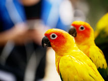 Conures relaxing. Royalty Free Stock Image
