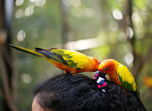 Conures relaxing. Stock Photography