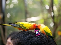Conures relaxing. Stock Photo