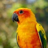 Conuro di Sun, bello uccello giallo del pappagallo Fotografia Stock