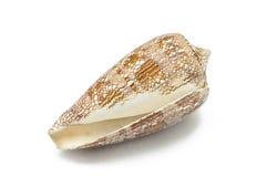 Conusaulicus, furstlig kotte, rov- havssnigel, kotteskal, brunt med skalet för vitt hav på vit seashe för bakgrundshavflotta royaltyfria bilder
