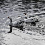 Convalescenças do Anser do ganso de neve fotografia de stock royalty free