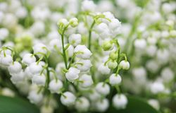 Convallaria. Close up image with convallaria flowers Royalty Free Stock Images