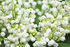 Convallaria flowers. Close up image with convallaria flowers Stock Photo