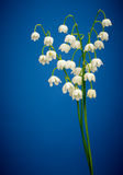 Convallaria majalis. Lilies of the valley on blue Stock Image
