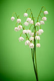 Convallaria majalis. Lilies of the valley on green Royalty Free Stock Images