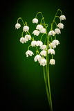 Convallaria majalis Royalty Free Stock Photo