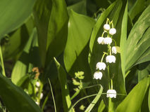 Convallaria majalis. Close-up Lily of the Valley Convallaria majalis in the light of the setting sun Royalty Free Stock Photo