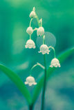 Convallaria majalis. Close up of white flowers Convallaria majalis Stock Photo