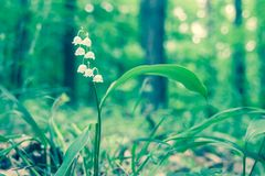 Convallaria majalis. Close up of white flowers Convallaria majalis Stock Image