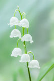 Convallaria majalis. Close up of white flowers Convallaria majalis Stock Photography