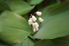 Convallaria majalis common Lily of the valley in blossom with beautiful white bell flowers royalty free stock image