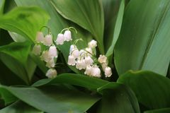 Convallaria majalis common Lily of the valley in blossom with beautiful white bell flowers stock image