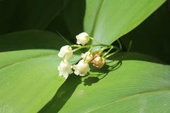 Convallaria majalis common Lily of the valley in blossom with beautiful white bell flowers stock images