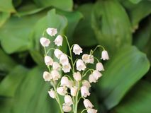 Convallaria majalis common Lily of the valley in blossom with beautiful white bell flowers royalty free stock photos
