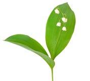 Convallaria majalis flower Stock Image