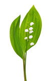 Convallaria majalis flower. Isolated on white background Stock Photos