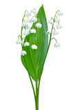 Convallaria majalis flowers. Isolated on white background Royalty Free Stock Photos