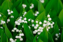 Convallaria Majalis flowers at Japanese garden. In spring time Royalty Free Stock Photography