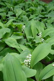 Convallaria majalis in full bloom in spring. Convallaria majalis in full bloom in late spring Stock Photography