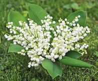 Bouquet of Convallaria. Convallaria Majalis known also as Lily of the valley Stock Images