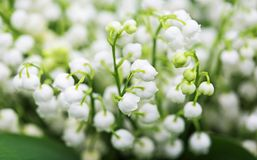 Convallaria close up. Convallaria Majalis known also as Lily of the valley Stock Images